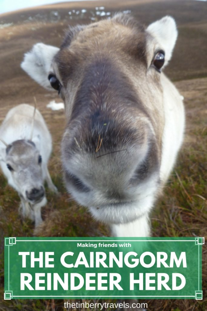 Visiting the Cairngorm Reindeer Herd, Scotland - Did you know there are reindeer in Scotland? We took a trip to visit the Cairngorm Reindeer Herd in Glenmore near Aviemore. A fantastic wildlife experience!