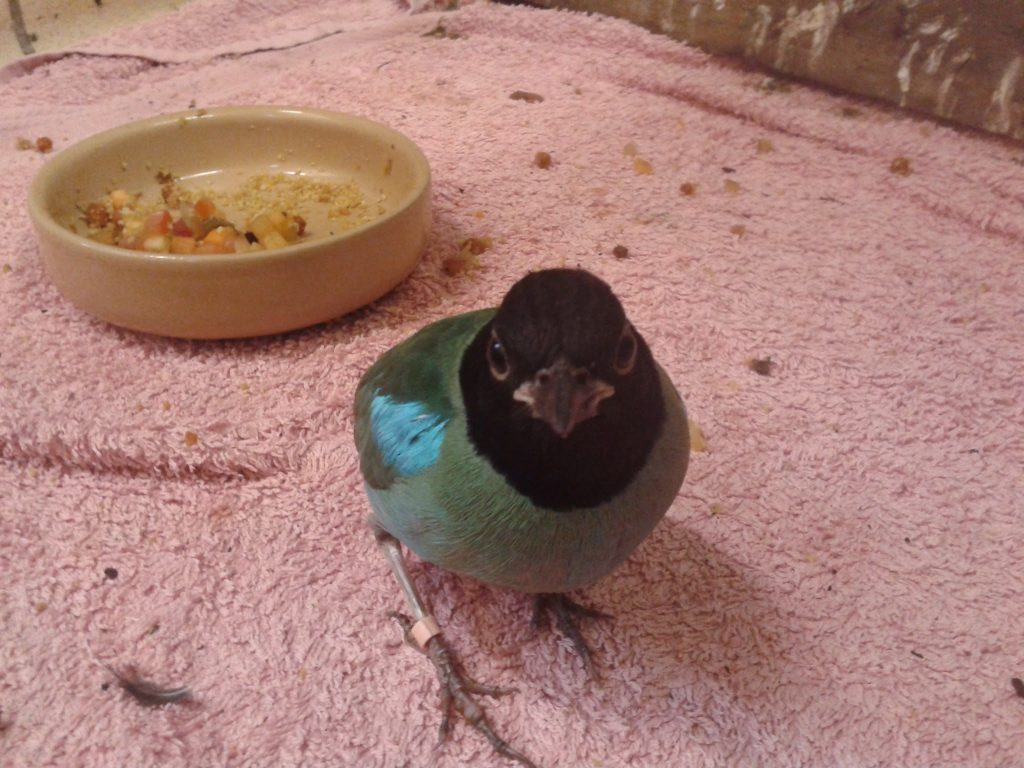 Pitta at Durrell Wildlife Park (now Jersey Zoo)