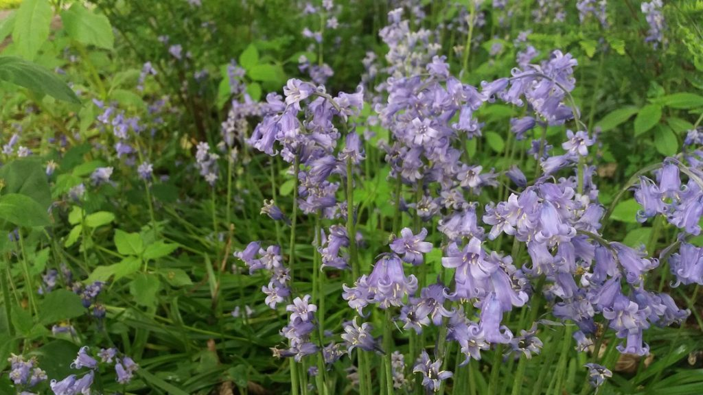 Bluebells are plentiful at Ardmore Point