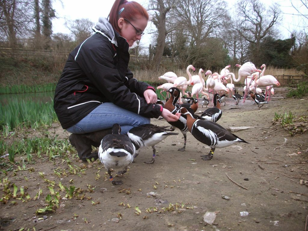 Red Breasted Geese and Flamingos at Durrell Wildlife Park (now Jersey Zoo)