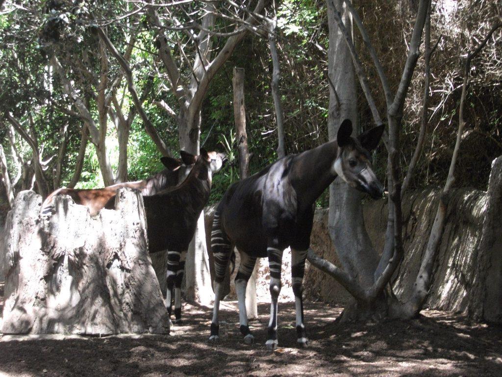 An Okapi at San Diego Zoo